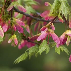Pinkish Maple helicopters on a branch