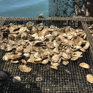 oysters on mesh netting with water in background