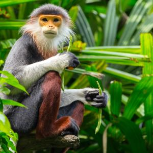 A red shanked douc (small ape) sits in green bushes