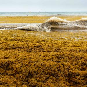 burnt yellow sargassum on beach and in water