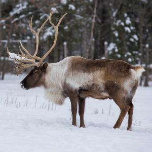 Caribou standing in snow