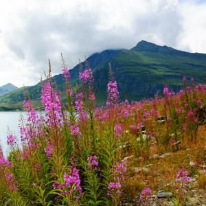 pink fireweed in front of mountains, water, and cloudy sky