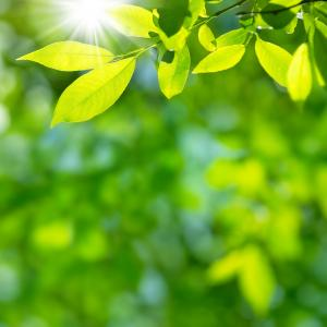 sun shining on green leaves in forest