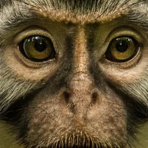 Monkey Face photo by Gerry Ellis