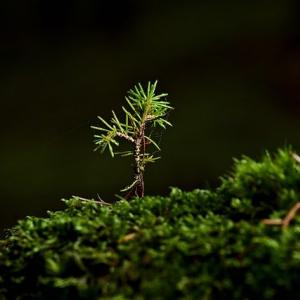 A single spruce seedling sprouting from a bed of moss