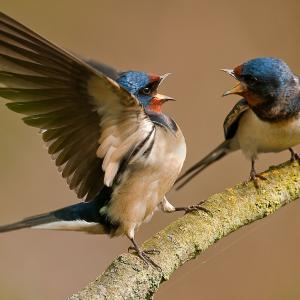 Two swallows on a branch, beaks open, one is aggressive with wings outstretched.