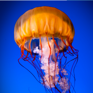 Jelly fish orange floating in blue water