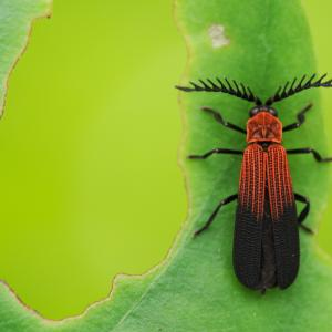 Lycidae insect on green leaf.