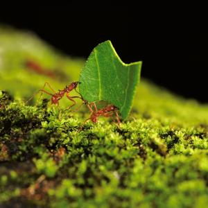 two ants carrying a leaf