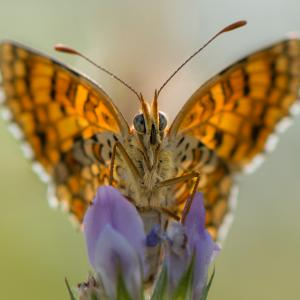 close up of monarch butterfly on iris
